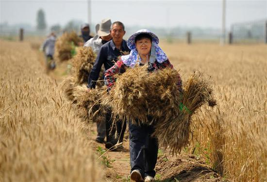 Staff member Chen Suying (front) carries newly-sampled wheat in test field of Nanpi Eco-Agricultural Experimental Station of the Chinese Academy of Sciences (CAS) in Nanpi County, north China's Hebei Province, June 12, 2018. Workers of the experimental station are busy sampling and calculating output of a project to boost agricultural innovation and increase crop production. (Xinhua/Mu Yu)