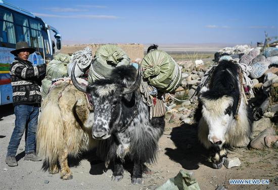 A yak team of Gangsha Village conveys travelling bags for pilgrims in Ali Prefecture, southwest China's Tibet Autonomous Region, June 26, 2018. Gangsha Village is located at the foot of Mount Kangrinboqe, a sacred Hindu and Buddhist site in Ali. Since the 1980s, local farmers and herdsmen have started to receive pilgrims and tourists from home and abroad. They upgraded services of tourism industry in the past 30 years, and tourism increased villagers' income. (Xinhua/Liu Dongjun)