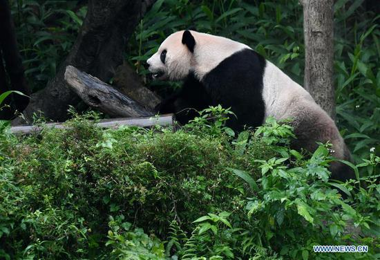 The giant panda Tuantuan plays at the Taipei Zoo in Taipei, southeast China's Taiwan, May 6, 2019. At the Taipei Zoo, the two giant pandas Tuantuan (male) and Yuanyuan (female) have drawn large crowds eager to catch a glimpse of the chubby bears through the past ten years. The two giant pandas were sent to Taiwan from the Chinese mainland in late 2008. In 2013, Tuantuan and Yuanyuan had a baby called Yuanzai. (Xinhua/Zhang Guojun)