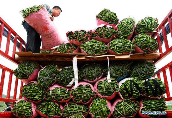 A man carries packed peppers at Niqiao Village of Luorong Town in Liuzhou, south China's Guangxi Zhuang Autonomous Region, May 20, 2019. China's agriculture sector has seen rapid growth over the past 70 years, with grain output expanding 4.8 times, according to a report from the National Bureau of Statistics (NBS). China's grain output grew at an average annual rate of 2.6 percent from 1949 to reach 658 billion kg in 2018, managing to feed around 20 percent of the world's population with only less than 9 percent of the world's arable land, according to the report. The country increased the diversity of food supply by developing the breeding industry, with the output of aquatic products ranking first in the world since 1989, which stood at 64.6 million tonnes in 2018, 143 times higher than 1949. The structure of the agriculture industry was continuously optimized, with a modern pattern promoting all-round development of farming, forestry, animal husbandry and fishery replacing the traditional farming pattern, the NBS said. Scale operation of agriculture was enhanced by the progress of rural land circulation. Over 35 million hectares of family contracted farmland was circulated in 2018, posing a sharp contrast to the 58 million mu in 2004. The country also fostered new types of entities of agricultural production and service. By the end of 2018, 600, 000 family farms and 2.17 million farmer cooperatives had been registered. (Xinhua/Li Hanchi)