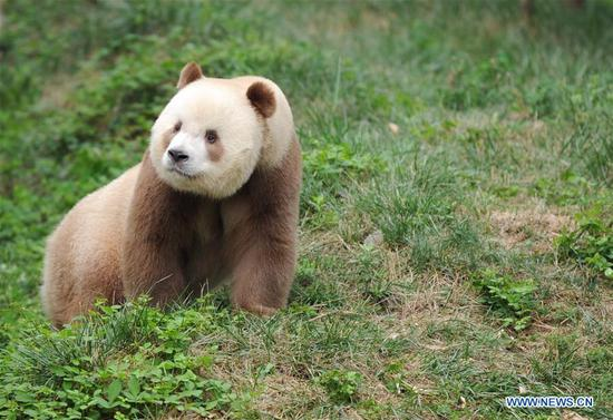 Qizai, a rare brown and white giant panda, is seen at Shaanxi rare wild animals rescuing and raising research center in Xi'an, northwest China's Shaanxi Province, Sept. 7, 2018. Qizai belongs to a subspecies that are more commonly referred to as Qinling pandas in reference to the isolated Qinling Mountains where they have been spotted. (Xinhua/Zhang Bowen)