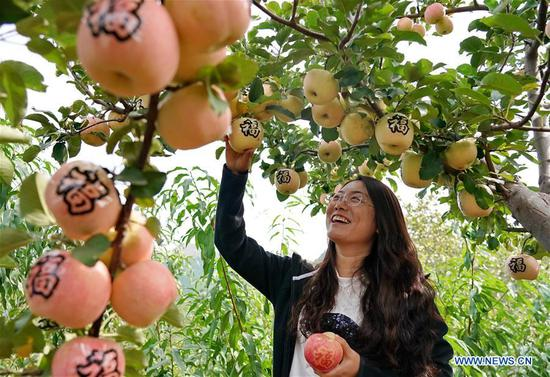 A tourist picks apples at an orchard during the National Day holiday in Xixinzhuang Village of Yanggezhuang Township in Qian'an City, north China's Hebei Province, Oct. 6, 2019. (Xinhua/Yang Shiyao)