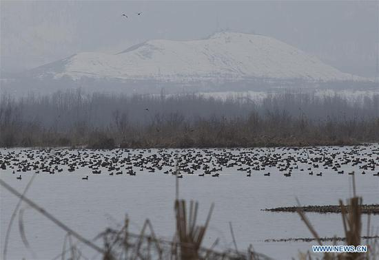 Birds rest in a wetland on the outskirts of Srinagar, the summer capital of Indian-controlled Kashmir, on Feb. 2, 2019. The World Wetlands Day is observed annually on Feb. 2. (Xinhua/Javed Dar)