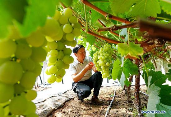 Zhao Shengjian, deputy director of Changli orchards research institute of Hebei Academy of Agriculture and Forestry Sciences, takes care of newly cultivated grapes at the breeding base of the institute in north China's Hebei Province, July 13, 2019. China's agriculture sector has seen rapid growth over the past 70 years, with grain output expanding 4.8 times, according to a report from the National Bureau of Statistics (NBS). China's grain output grew at an average annual rate of 2.6 percent from 1949 to reach 658 billion kg in 2018, managing to feed around 20 percent of the world's population with only less than 9 percent of the world's arable land, according to the report. The country increased the diversity of food supply by developing the breeding industry, with the output of aquatic products ranking first in the world since 1989, which stood at 64.6 million tonnes in 2018, 143 times higher than 1949. The structure of the agriculture industry was continuously optimized, with a modern pattern promoting all-round development of farming, forestry, animal husbandry and fishery replacing the traditional farming pattern, the NBS said. Scale operation of agriculture was enhanced by the progress of rural land circulation. Over 35 million hectares of family contracted farmland was circulated in 2018, posing a sharp contrast to the 58 million mu in 2004. The country also fostered new types of entities of agricultural production and service. By the end of 2018, 600, 000 family farms and 2.17 million farmer cooperatives had been registered. (Xinhua/Yang Shiyao)