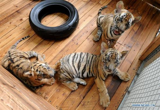 Three South China Tiger cubs play at the South China Tiger Breeding Base in Suzhou, east China's Jiangsu Province, Sept. 2, 2018. Two cubs were born on June 22 and one was born on July 18 this year. Three cubs appear to be in good health. (Xinhua/Hang Xingwei)