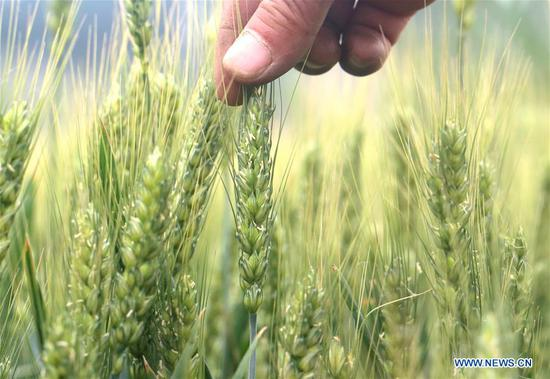 A farmer checks the growth of wheat in Ganglingcheng Village of Linzhang County, north China's Hebei Province, May 20, 2019, a day before Xiaoman. Traditional Chinese solar term Xiaoman (grain buds) falls on May 21 this year, which means seeds from grain are becoming full. (Xinhua/Hu Gaolei)
