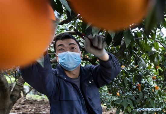 A villager picks oranges in Xilingxia Village of Quyuan Township in Zigui County of Yichang, central China's Hubei Province, Feb. 11, 2020. Farmers across China have resumed production after taking necessary protection measures against novel coronavirus. By Feb. 10, about 94.6 percent of the country's major grain production and processing firms had resumed production. (Photo by Xiang Hongmei/Xinhua)