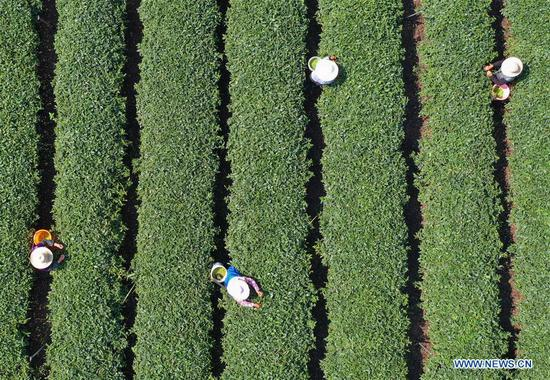 Aerial photo taken on April 7, 2019 shows villagers picking tea leaves in the field of a tea planting base in Baogai Town of Hengnan County, central China's Hunan Province. Tea planting bases are built in Baogai to provide jobs for local villagers as a method of poverty alleviation in recent years. (Xinhua/Cao Zhengping)