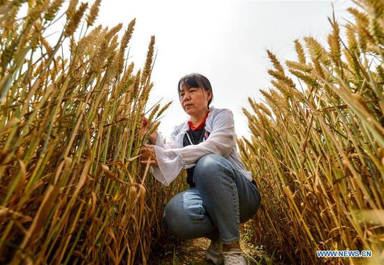 An agricultural technician conducts yield monitoring at a wheat field in Xidiqiu Village of Linzhang County, Handan, north China's Hebei Province, June 2, 2020. Agricultural technicians conducted a yield monitoring in Linzhang on Tuesday, preparing for the large-scale harvesting of wheat. The mechanical reaping works of wheat in Hebei will last from June 5 to 21. (Xinhua/Wang Xiao)