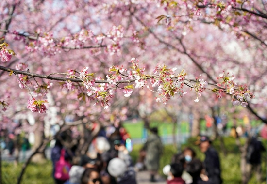 People look at cherry blossoms in full bloom at Jing'an Sculpture Park in east China's Shanghai, March 2, 2021. (Xinhua/Wang Xiang)