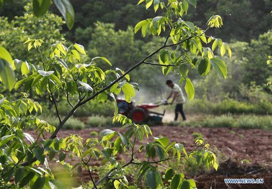 A farmer works in an orchard in Yaojiayu Village of Dongjiuzhai Township, Zunhua, north China's Hebei Province, May 7, 2018. (Xinhua/Liu Mancang)