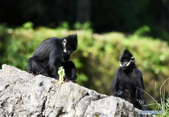 Francois' langurs are seen in the Mayanghe National Nature Reserve in Guizhou Province, southwest China, June 4, 2019. Thanks to a series of protective measures, the number of Francois' langurs in the Mayanghe National Nature Reserve has been increasing in recent years. According to latest official statistics, there are currently more than 550 Francois' langurs in the nature reserve. Also known as Francois' leaf monkeys, the species is one of China's most endangered wild animals and is under top national-level protection. It is also one of the endangered species on the International Union for Conservation of Nature red list. The species are found in China's Guangxi, Guizhou and Chongqing. (Xinhua/Yang Wenbin)