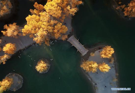Aerial photo taken on Oct. 21, 2019 shows a view of the Jinta desert populus euphratica forest scenic spot in Jiuquan, northwest China's Gansu Province. (Xinhua/Ma Ning)