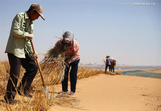 Desertification control workers make straw checkerboard barriers in the Tengger Desert along the construction site of the Qingtongxia-Zhongwei section of the Wuhai-Maqin highway in northwest China's Ningxia Hui Autonomous Region, Sept. 7, 2020. The Qingtongxia-Zhongwei section of the Wuhai-Maqin highway is under construction, of which an 18-kilometer-long section going through the Tengger Desert is the first desert highway in Ningxia. A desertification control team has worked along the highway construction site, using straw checkerboard barriers and planting vegetation to stop the dunes from moving or expanding. (Xinhua/Jia Haocheng)
