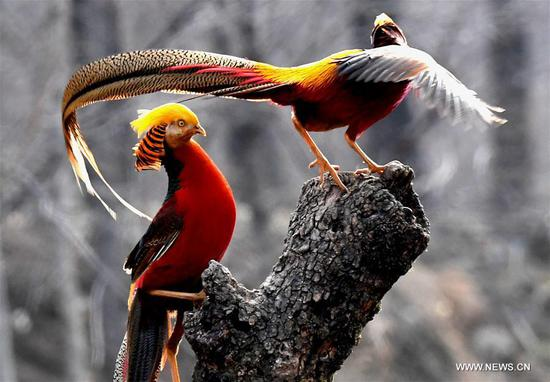 Two golden pheasants sport in the woods of Mengcun Village in Ruyang County, central China's Henan Province, March 5, 2019. (Xinhua/Li An)