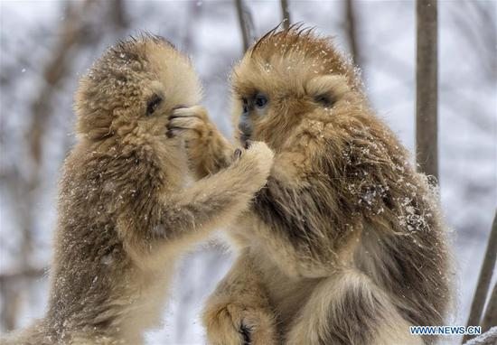 Photo taken on Jan. 10, 2017 shows golden monkeys in Shennongjia National Park of central China's Hubei Province. (Xinhua/Du Huaju)