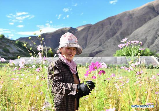 A villager collects flower seeds at a nursery industrial base in Chagyab County of Qamdo, southwest China's Tibet Autonomous Region, Sept. 28, 2020. Southwest China's Tibet Autonomous Region has accomplished the historical feat of eradicating absolute poverty, according to a press briefing held in the regional capital of Lhasa on Thursday. (Xinhua/Jigme Dorje)