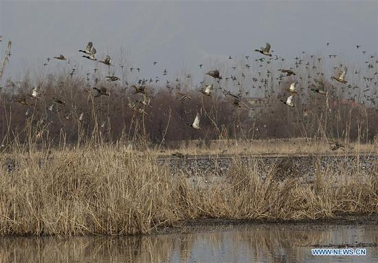 Birds fly over a wetland on the outskirts of Srinagar, the summer capital of Indian-controlled Kashmir, on Feb. 2, 2019. The World Wetlands Day occurs annually on Feb. 2. (Xinhua/Javed Dar)