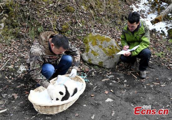 熊猫妈妈在野外交配后返回中心 1