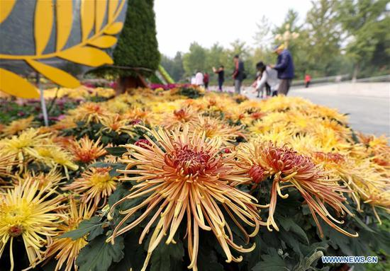 People enjoy chrysanthemums displayed at an exhibition in Shijiazhuang, north China's Hebei Province, Oct. 9, 2020. An exhibition displaying chrysanthemums was held in the provincial capital of Shijiazhuang. Over 30 different varieties and near 100 designs of chrysanthemums were displayed. (Photo by Liang Zidong/Xinhua)