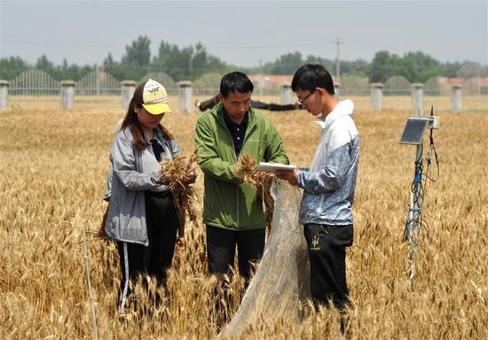 Staff members sample wheat in test field of Nanpi Eco-Agricultural Experimental Station of the Chinese Academy of Sciences (CAS) in Nanpi County, north China's Hebei Province, June 12, 2018. Workers of the experimental station are busy sampling and calculating output of a project to boost agricultural innovation and increase crop production. (Xinhua/Mu Yu)
