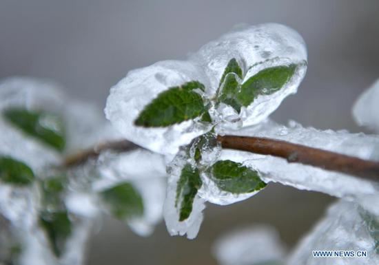 Photo taken on Nov. 24, 2020 shows a plant covered with ice in Xuan'en County, Enshi Tujia and Miao Autonomous Prefecture, central China's Hubei Province. (Photo by Song Wen/Xinhua)