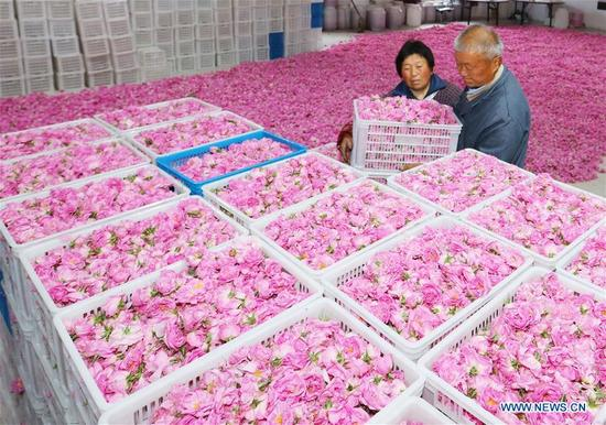 Farmers convey roses for sale at Shizhuang Village of Hai'an County, east China's Jiangsu Province, May 14, 2018. (Xinhua/Xiang Zhonglin)