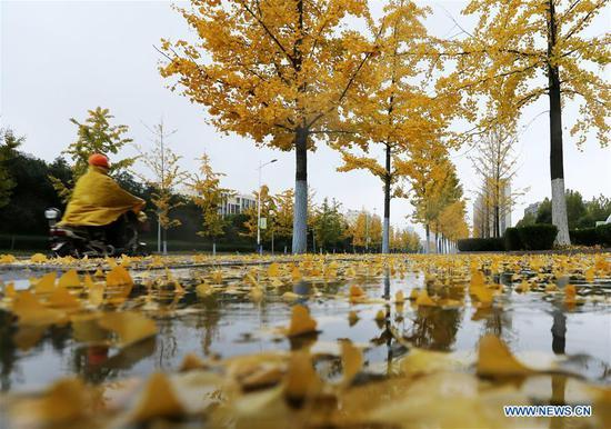 Photo taken on Nov. 6, 2018 shows ginkgo leaves in rain in Tancheng County, Linyi City, east China's Shandong Province. (Xinhua/Zhang Chunlei)