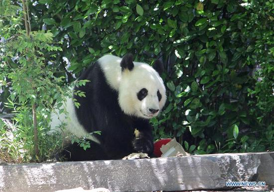 A giant panda is seen at Adelaide Zoo, Adelaide, Australia, Nov. 24, 2019. Good news for the Australians -- the two giant pandas from China will stay in South Australia for another five years. According to the Adelaide Zoo, it has signed the agreement with the China Wildlife Conservation Association to extend the loan of the two giant pandas, Wang Wang and Fu Ni, for five more years. (Photo by Lyu Wei/Xinhua)