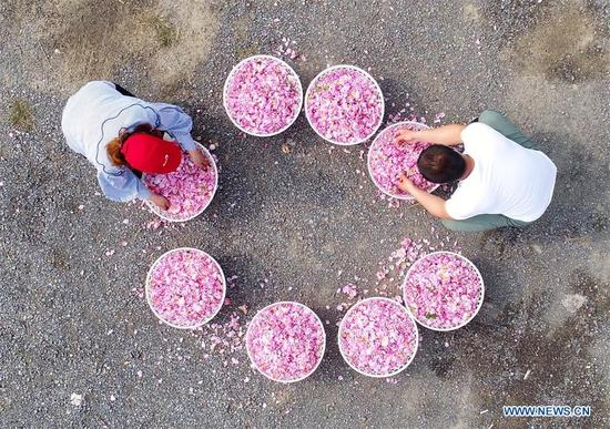 Aerial photo taken on May 14, 2018 shows farmers checking the newly-picked roses at Shizhuang Village of Hai'an County, east China's Jiangsu Province. (Xinhua/Xiang Zhonglin)