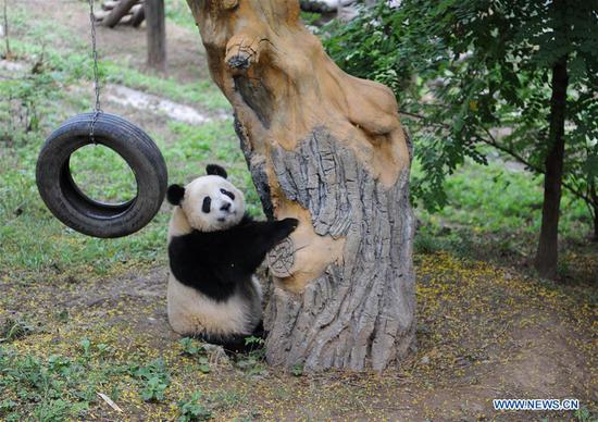 Giant panda cub Shan Zai plays at the Shaanxi Rare Wild Animals Rescue and Breeding Research Center in northwest China's Shaanxi Province, Sept. 7, 2018. Four giant panda cubs, born at the center in 2017, grow well now. (Xinhua/Zhang Bowen)