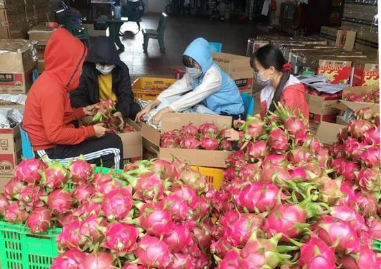 People package dragon fruits in the city of Buon Ma Thuot in Vietnam's central highlands Dak Lak province on Aug. 12, 2020. (VNA via Xinhua)