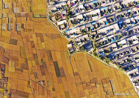 Aerial photo taken on Oct. 18, 2020 shows rice fields in Jiangzhuang Village in Luanzhou, north China's Hebei Province. (Xinhua/Mu Yu)