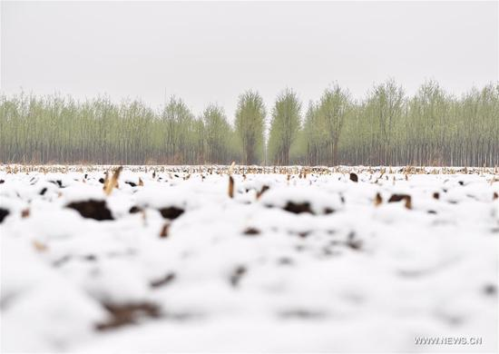 Photo taken on April 5, 2018 shows snow-covered farmland in Tianjin, north China. A cold front brought snowfall to parts of China in these days. (Xinhua/Yue Yuewei)