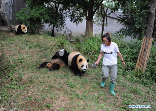 A staff member feeds giant panda cub Lu Lu at the Shaanxi Rare Wild Animals Rescue and Breeding Research Center in northwest China's Shaanxi Province, Sept. 7, 2018. Four giant panda cubs, born at the center in 2017, grow well now. (Xinhua/Zhang Bowen)