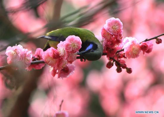A bird is seen on a flowering tree at Huanglongdong scenic spot in Zhangjiajie, central China's Hunan Province, March 12, 2019. (Xinhua/Wu Yongbing)