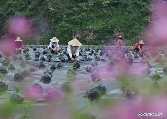 Farmers work on a plantation base in Xiehe Township of Wulingyuan District, Zhangjiajie, central China's Hunan Province, April 18, 2019. (Xinhua/Wu Yongbing)