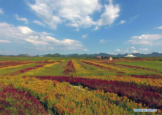 Aerial photo taken on Sept. 5, 2018 shows the colorful flower field in Luoping County, southwest China's Yunnan Province. Colorful flower fields of 200 hectares are created by the local government in Luoping County to boost tourism development. (Xinhua/Yang Zongyou)