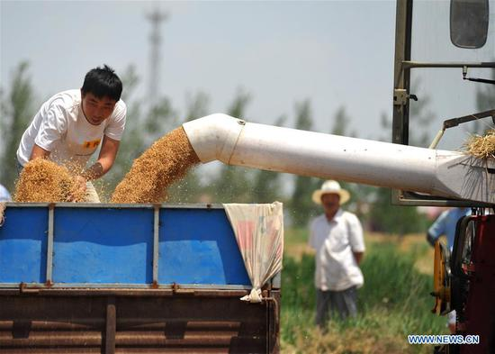 Farmers harvest wheat in Wumaying Village of Nanpi County, north China's Hebei Province, June 10, 2019. The wheat has entered harvest season here. (Xinhua/Mu Yu)