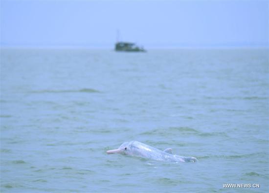 A Chinese white dolphin sports in the Sanniangwan sea area in Qinzhou City, south China's Guangxi Zhuang Autonomous Region, June 10, 2018. (Xinhua/Zhou Hua)
