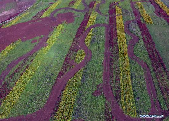Aerial photo taken on Sept. 5, 2018 shows the scenic route amidst colorful flower fields in Luoping County, southwest China's Yunnan Province. Colorful flower fields of 200 hectares are created by the local government in Luoping County to boost tourism development. (Xinhua/Yang Zongyou)