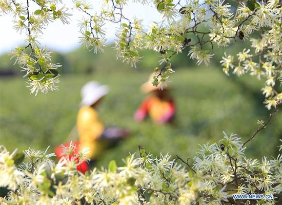 Villagers pick tea leaves in the field of a tea planting base in Baogai Town of Hengnan County, central China's Hunan Province, April 7, 2019. Tea planting bases are built in Baogai to provide jobs for local villagers as a method of poverty alleviation in recent years. (Xinhua/Cao Zhengping)