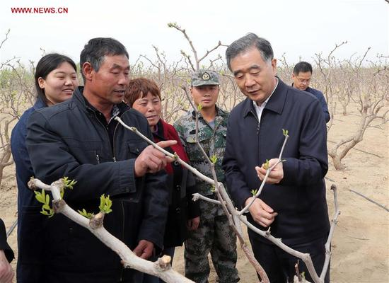 Wang Yang, chairman of the National Committee of Chinese People's Political Consultative Conference, also a member of the Standing Committee of the Political Bureau of the Communist Party of China Central Committee, visits a red date garden run by a division of the Xinjiang Production and Construction Corps, northwest China's Xinjiang Uygur Autonomous Region, April 11, 2018. Wang made an inspection tour in Xinjiang from April 10 to 14. (Xinhua/Liu Weibing)