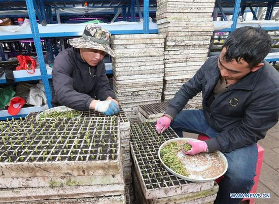 Villagers plant pepino melon seedlings at a pepino melon seedling center in Luhua Village of Xijiekou Township in Shilin Yi Autonomous County, southwest China's Yunnan Province, Nov. 30, 2019.