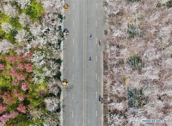 Aerial photo shows tourists enjoying cherry blossoms at a cherry tree garden in Xingyang, central China's Henan Province, March 24, 2020. (Xinhua/Hao Yuan)