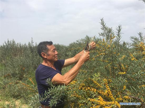 Forestry manager Deng Shengli works amid sea buckthorn at the Kubuqi Desert, north China's Inner Mongolia Autonomous Region, Aug. 1, 2018. Kubuqi, the seventh largest desert in China, is a good example of China's success in alleviating desertification. About 6,460 square kilometers of the Kubuqi desert has been reclaimed in the last 30 years. (Xinhua/Zhang Shanchen)
