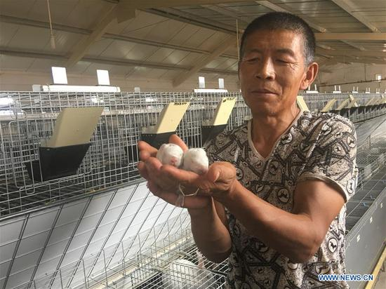 A staff member shows new-born rex rabbits at a standardized cultivation center at the Kubuqi Desert in Erdos, north China's Inner Mongolia Autonomous Region, Aug. 1, 2018. Kubuqi, the seventh largest desert in China, is a good example of China's success in alleviating desertification. About 6,460 square kilometers of the Kubuqi desert has been reclaimed in the last 30 years. (Xinhua/Zhang Shanchen)