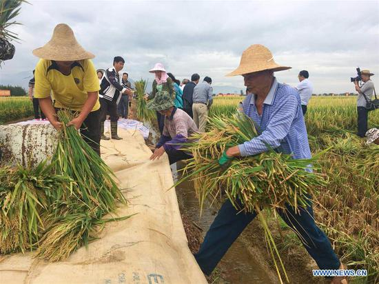 Farmers prepare to thresh rice stalks at a super hybrid rice demonstration base in Datun Township in the Gejiu City, southwest China's Yunnan Province, Sept. 2, 2018. The latest output of three plots at a super hybrid rice demonstration base located in Datun Township has set a new world record by reaching an average of 1,152.3 kg per mu (about 0.07 hectares), local authorities said Monday. (Xinhua/Wang Haixia)