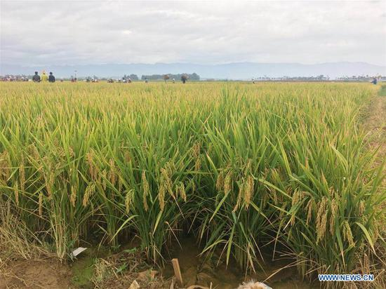 Super hybrid rice field is seen at a demonstration base in Datun Township in Gejiu City, southwest China's Yunnan Province, Sept. 2, 2018. The latest output of three plots at a super hybrid rice demonstration base located in Datun Township has set a new world record by reaching an average of 1,152.3 kg per mu (about 0.07 hectares), local authorities said Monday. (Xinhua/Wang Haixia)