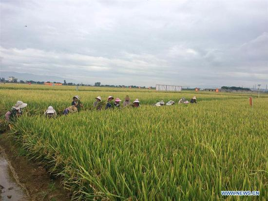 Farmers harvest rice at a super hybrid rice demonstration base in Datun Township in the Gejiu City, southwest China's Yunnan Province, Sept. 2, 2018. The latest output of three plots at a super hybrid rice demonstration base located in Datun Township has set a new world record by reaching an average of 1,152.3 kg per mu (about 0.07 hectares), local authorities said Monday. (Xinhua/Wang Haixia)